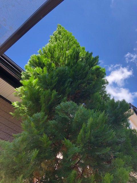 屋根に届きそうなほど成長した木を伐採しました。